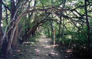 Osage Orange Tunnel
